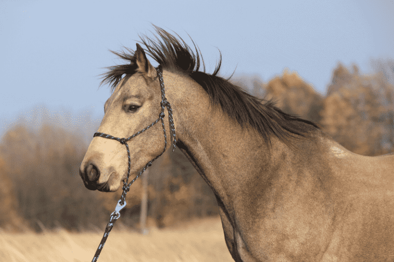 Rope halter on a horse